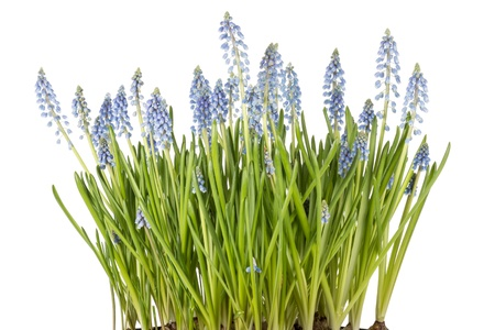 Muscari botryoides flowers also known as blue grape hyacinth in closeup over white background photo