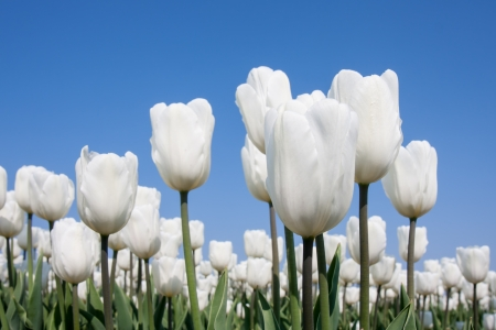 Big field of white tulips and a blue sky photo