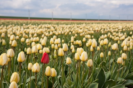 Lonely red tulip in yellow tulip field