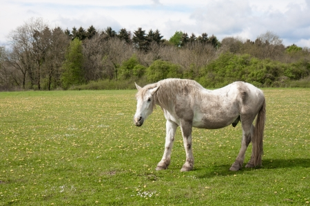 Old horse in a meadow with dandelions photo