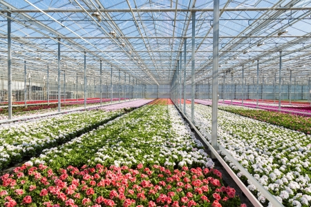 Greenhouse with colorful geranium plants photo