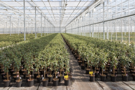 fuschias: Cultivating Fuchsia plants in a Dutch greenhouse
