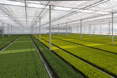 Cultivation of cupressus in a Dutch greenhouse Stock Photo