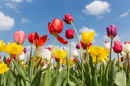 Beautiful colorful tulips against a blue sky with clouds Stockfoto