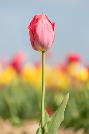 Single tulip with shallow depth of field photo