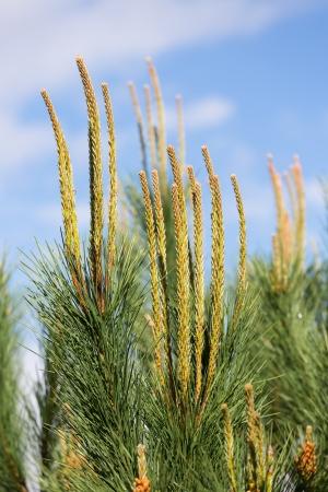 pinus sylvestris: Needles of a pine tree  Pinus sylvestris  Stock Photo