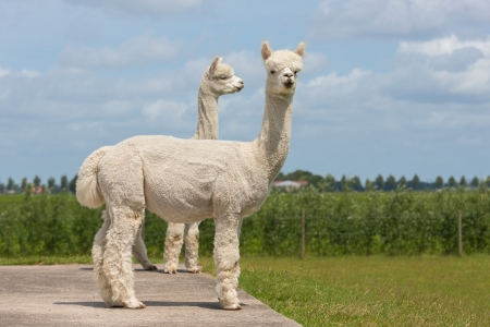 Two peruvian alpacas in a Dutch animal park Stock Photo