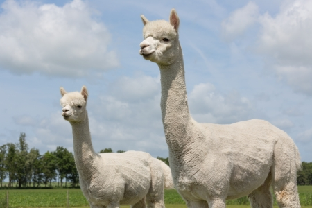 Two peruvian alpacas in a Dutch animal park Stockfoto
