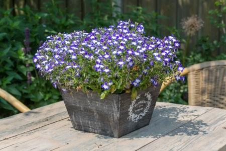 lobelia: Garden table decorated with blue lobelias