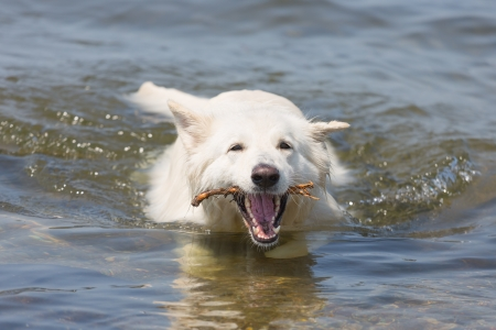 retrieving: White swiss shepherd retrieving a branch out of the water Stock Photo