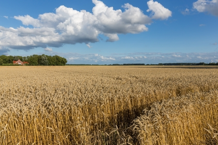 Dutch farmland with wheat field and cloudscape photo