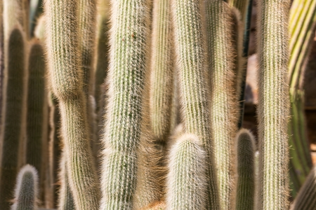 Closeup of many big cactuses in a botanical garden photo