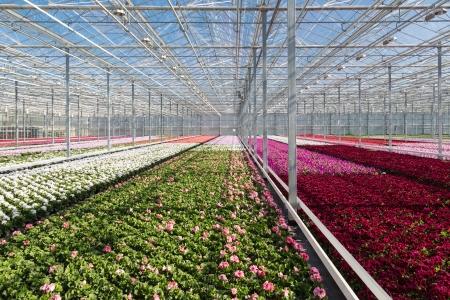 大きなダッチ温室でカラフルな花 写真素材