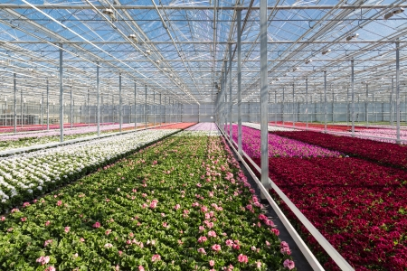 Colorful flowers in a big Dutch greenhouse