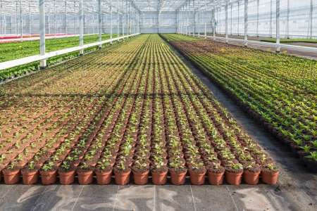 Cultivation of geraniums in a Dutch greenhouse