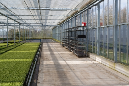Cultivation of cypressus in a Dutch greenhouse Stockfoto