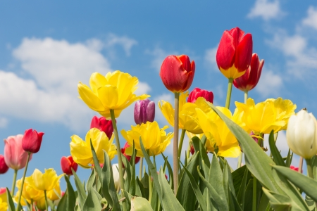 tulipa: Beautiful colorful tulips against a blue sky with clouds Stock Photo