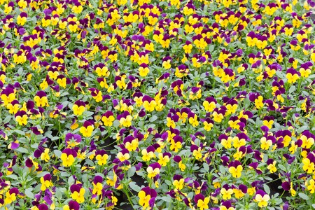 Background of blue and yellow viola photo