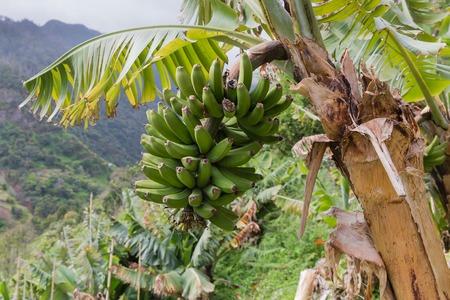 Banana tree at Madeira Island, Portugal