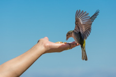 Yellow chaffinch with spread wings eating peanuts from a womans hand photo