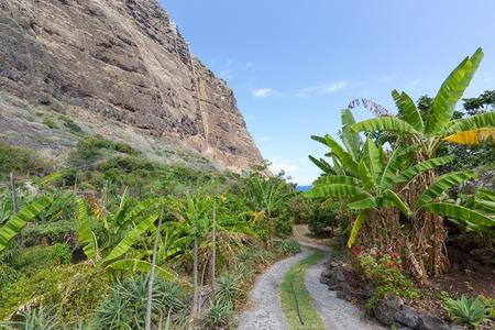 Banana plantation along the coast beneath the cliffs of Madeira Island, Portugal photo