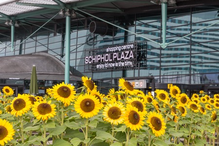 AMSTERDAM, THE NETHERLANDS - SEP 11: Sunflowers in front of a shopping centre on September 11, 2014 at the airport Schiphol of Amsterdam, the Netherlands