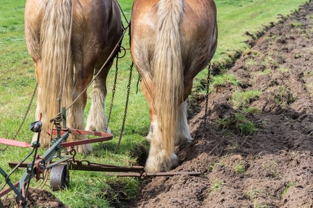 the plough: Two brown draft horses with a traditional plough