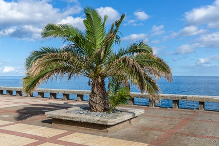 Palm tree at a pedestrian promenade near Funchal along the coast of Madeira Island, Portugal photo