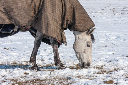 Horse with blanket grazing in a snowy pasture photo