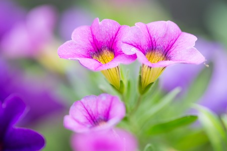 Closeup of colorful purple Petunia (Solanaceae) photo