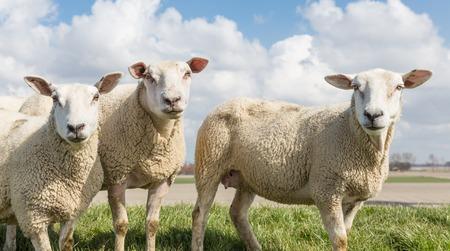 pecora: Pecore alla giornata di sole in primavera sulla cima di una diga nei Paesi Bassi