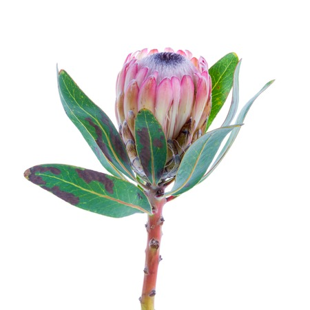 Purple Protea flower on a white background