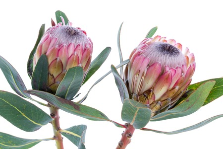 Two Purple Protea flower on a white background Stock Photo