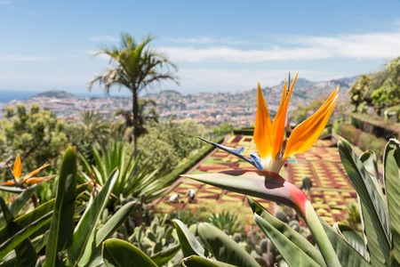 Strelitzia in Botanical garden of Monte at Funchal , Madeira Island