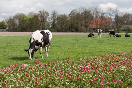 land mammal: Grazing cows near a tulip field in the Netherlands