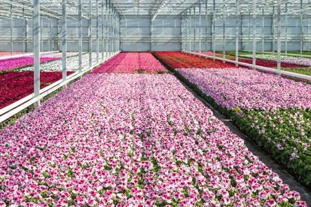 Cultivation of white and purple geraniums in a Dutch Greenhouse Stockfoto
