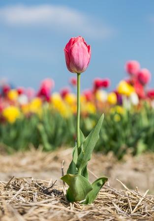 campo de flores: Flor soledad p�rpura con enfoque selectivo en frente de un campo de tulipanes Foto de archivo