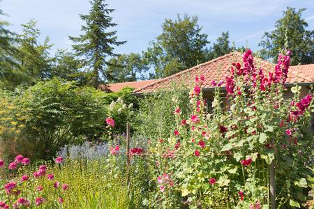 hollyhocks: Dutch garden with colorful purple blooming hollyhocks Stock Photo
