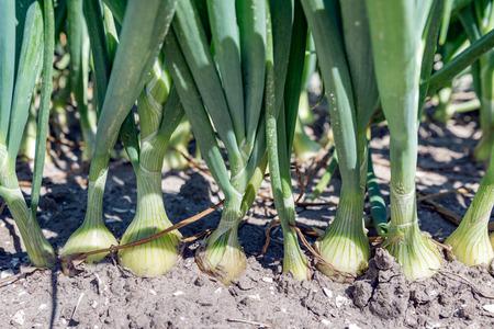 cebolla: Tierras de labrantío holandesas con el campo de cebollas crecientes