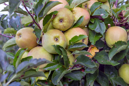 maturing: Dutch orchard with maturing apples
