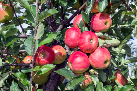 maturing: Dutch orchard with maturing red apples
