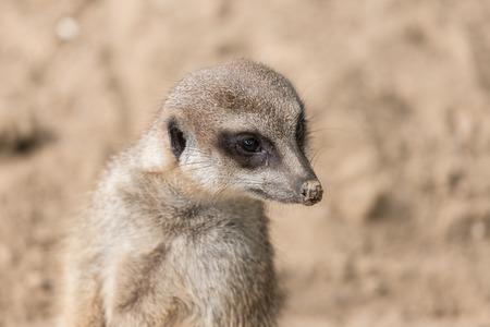 antwerp: Close-up meerkat in Antwerp zoo