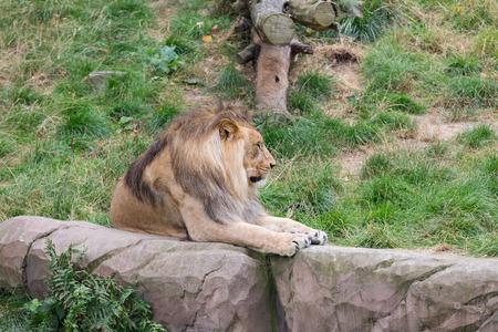 african lion: African Lion Panthera leo at Antwerp Zoo, Belgium Stock Photo