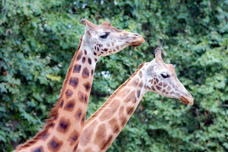 giraffa camelopardalis: Two giraffe Giraffa camelopardalis in antwerp zoo