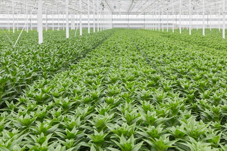 cultivation: Dutch Greenhouse with cultivation of lily flowers Stock Photo