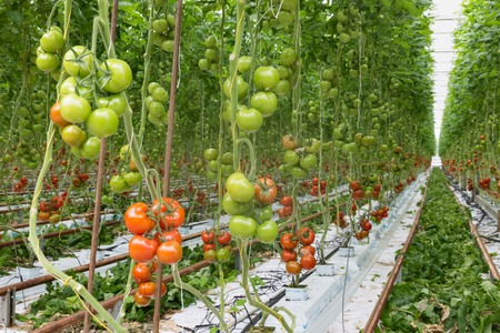 ripening: Tomatoes ripening in a big greenhouse