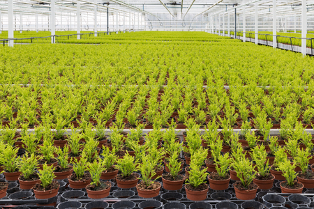 Dutch horticulture with cypresses growing in a greenhouse