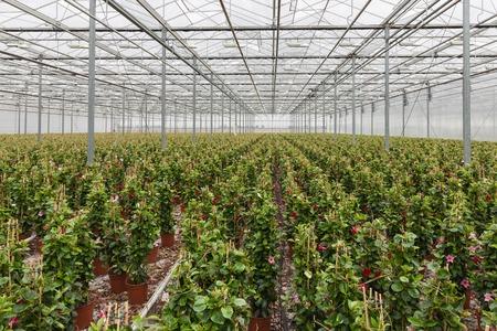 dipladenia: Sundaville fiori che crescono in una grande serra