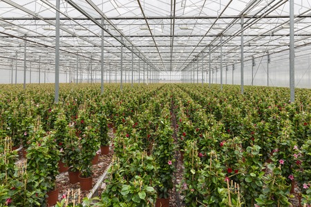 dipladenia: Sundaville flowers growing in a big greenhouse