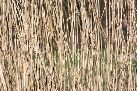 Background of yellow reed with selective focus in early spring